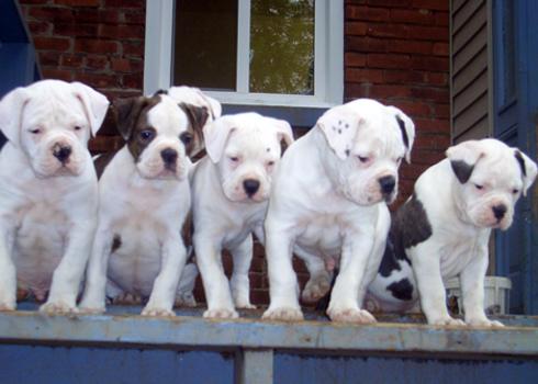 American Bulldog Puppies on Steel City American Bulldog Puppies Jpg